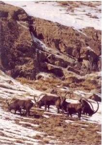 Ibex Arpa Kirghizstan