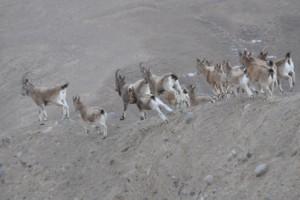 Ibex femelles Kirghizstan