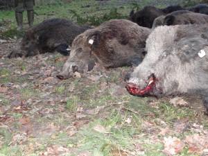 Sangliers en Croatie chasse