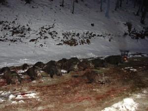 chasse en battue sous la neige en Croatie