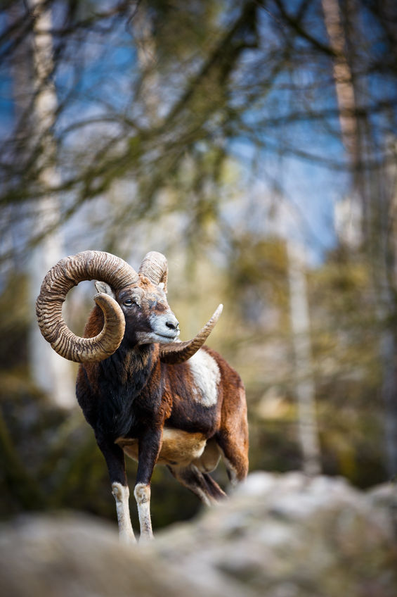 Grand mouflon medaille d'Or chasse Croatie