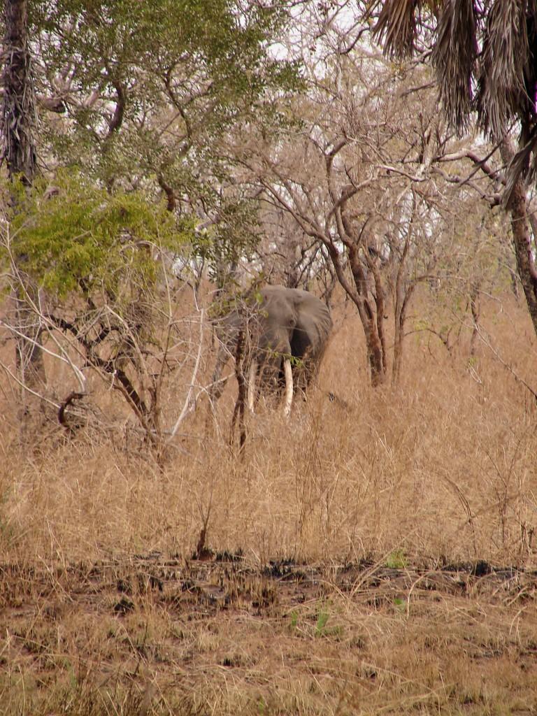 Elephant grand porteur safari chasse tanzanie