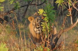Lion Lugenda safari chasse Mozambique