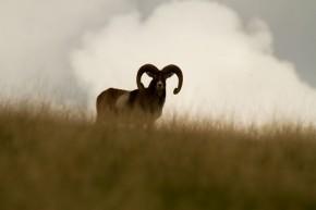 Mouflon Croatie