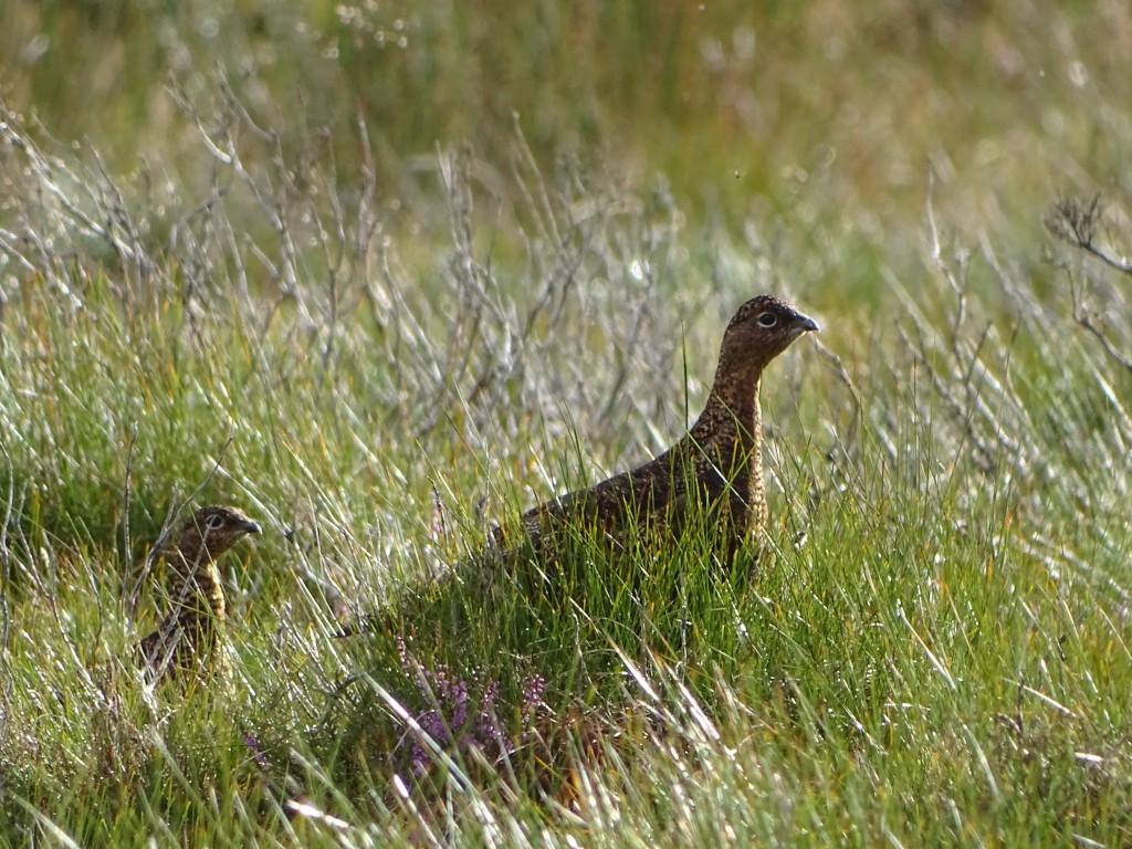 grouse-sejour-de-chasse-en-ecosse
