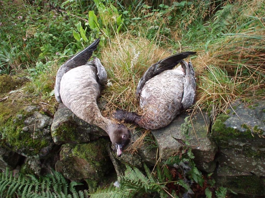 oies-bec-court-sejour-de-chasse-en-ecosse